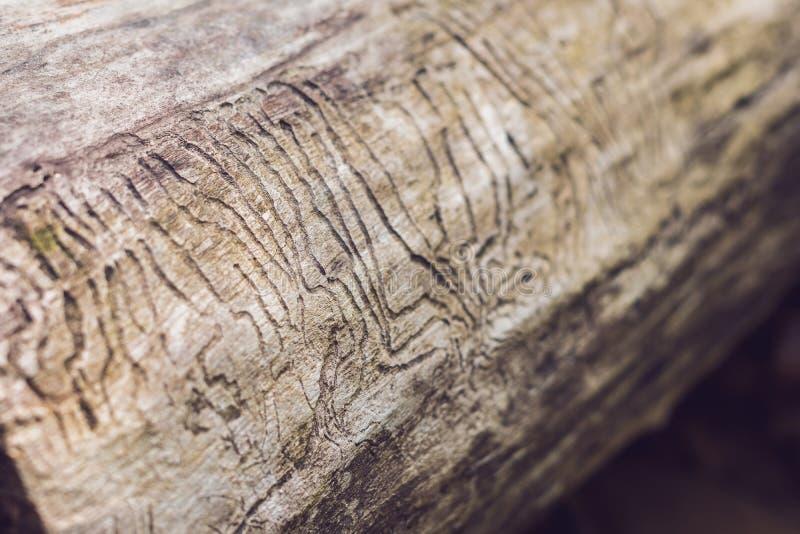 Gravure de galerie de scarabée d'écorce sur le bois photographie stock libre de droits