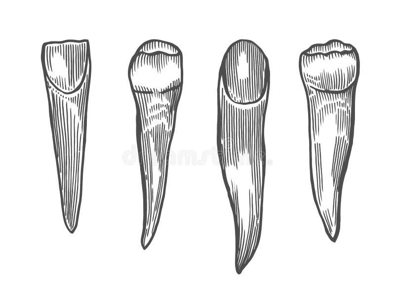 Gravure de la dent de cru illustration de vecteur