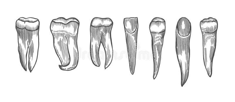 Gravure de la dent de cru illustration stock