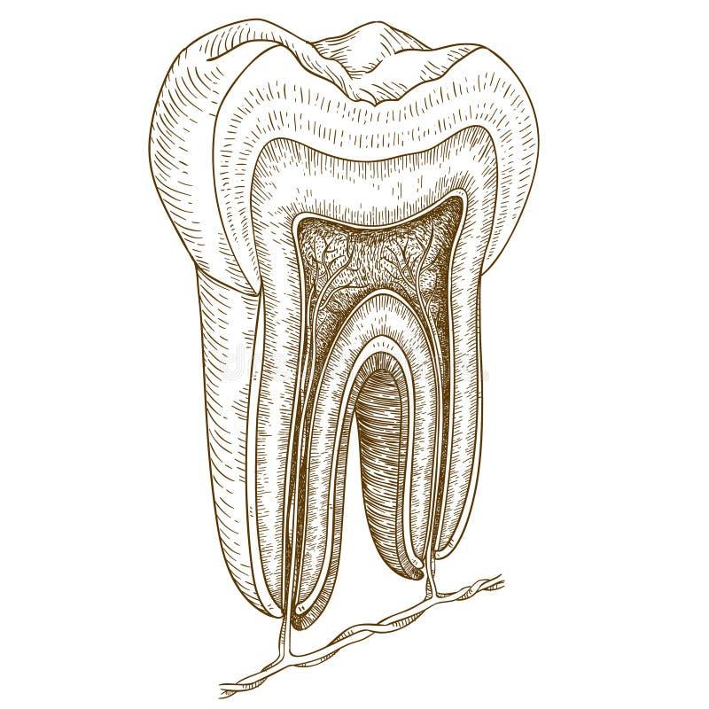 Gravureillustratie van menselijke tandstructuur royalty-vrije illustratie