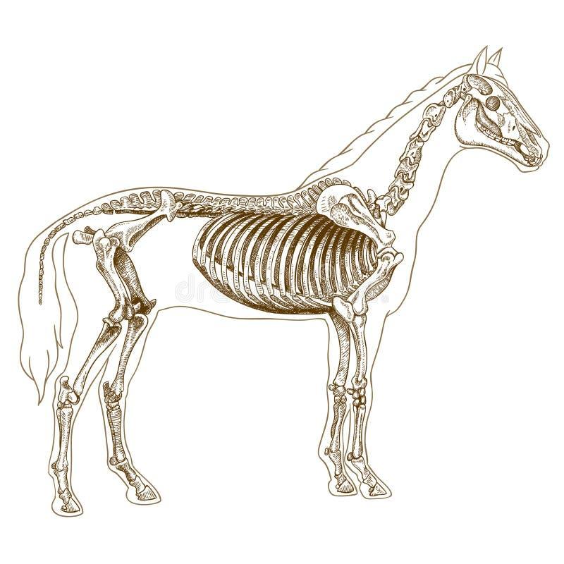 Gravureillustratie van paardskelet vector illustratie