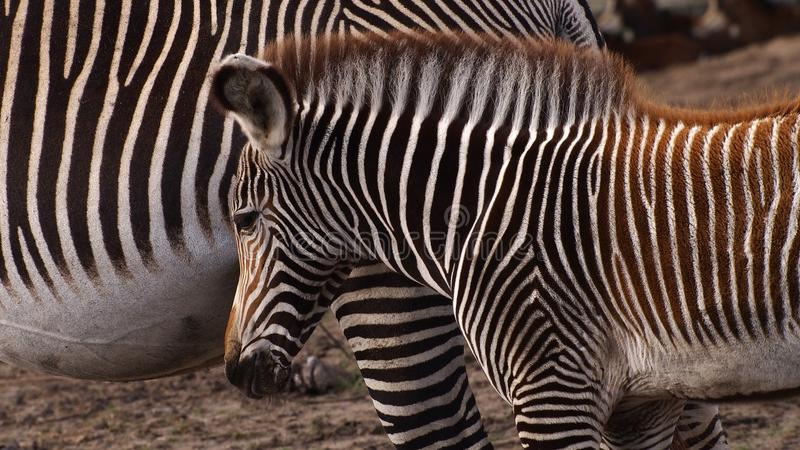 Zebra mother with foal. Gravyi zebra foal following its mother stock photos