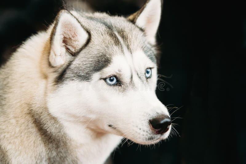 Gray Adult Siberian Husky Dog med blåa ögon stänger sig upp ståenden royaltyfri bild