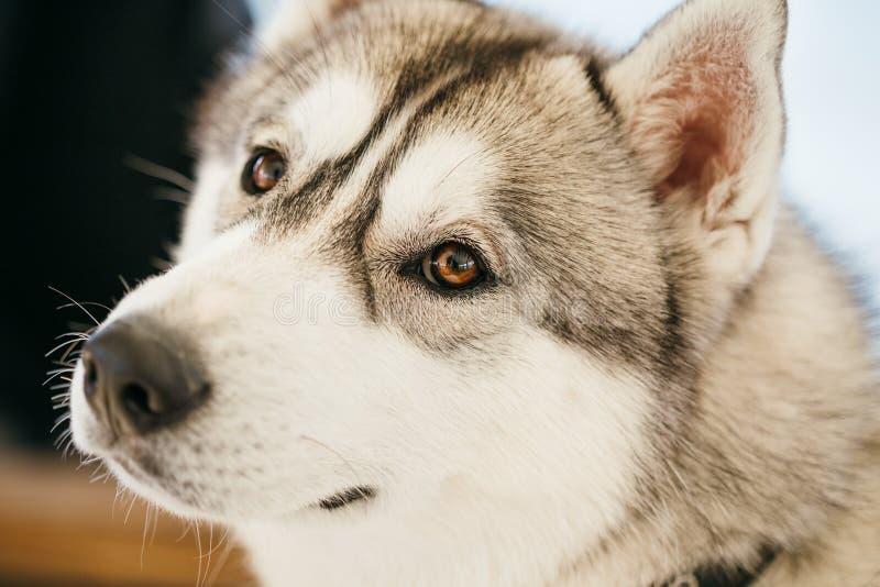 Gray Adult Siberian Husky Dog (schor Sibirsky) stock afbeeldingen
