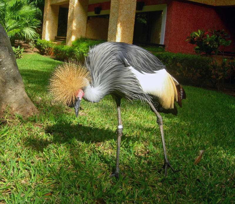 Gray African crane royalty free stock photography