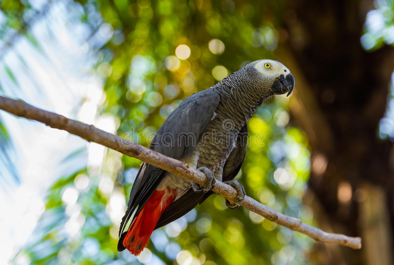 Gray African Parrot in Bali Island Indonesia. Nature background stock image