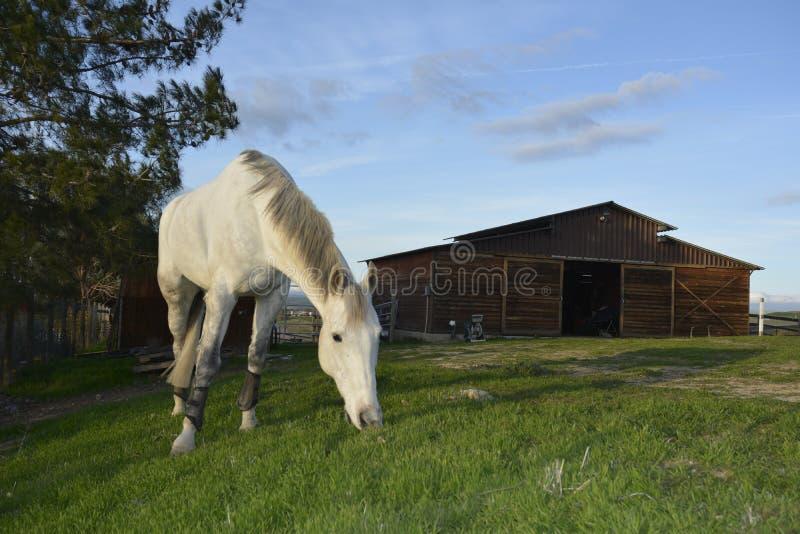 Gray American Quarter Horse, der üppiges grünes Gras mit blauem Himmel und Scheune isst stockfotografie