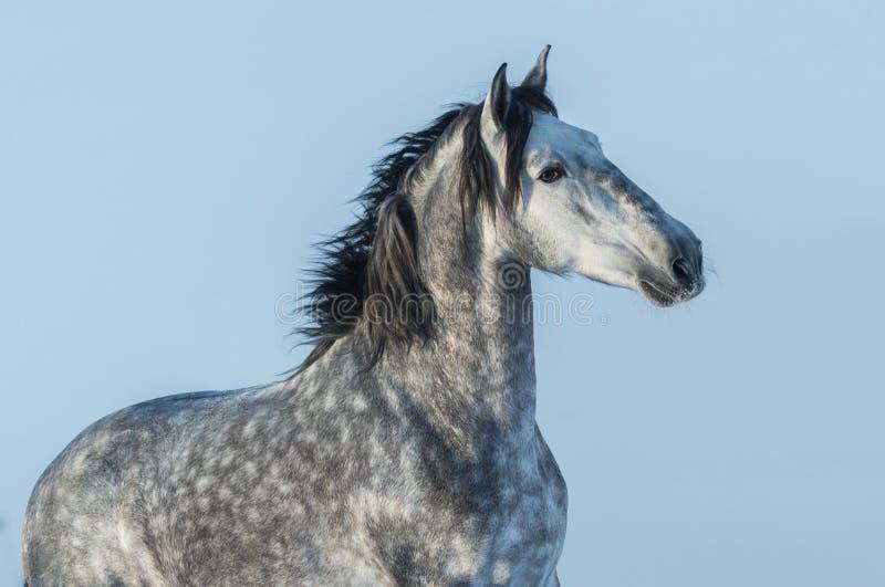 Gray Andalusian-hengst Portret van Spaans paard stock afbeelding
