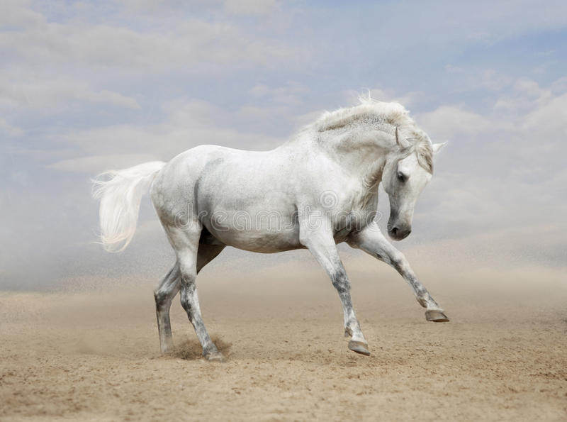 Gray Andalusian horse in desert stock photo
