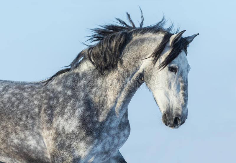Gray Andalusian Horse in motie Portret van Spaans paard stock foto's