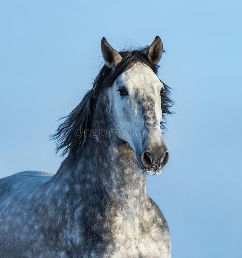 Gray Andalusian Horse Portret van Spaans paard stock foto