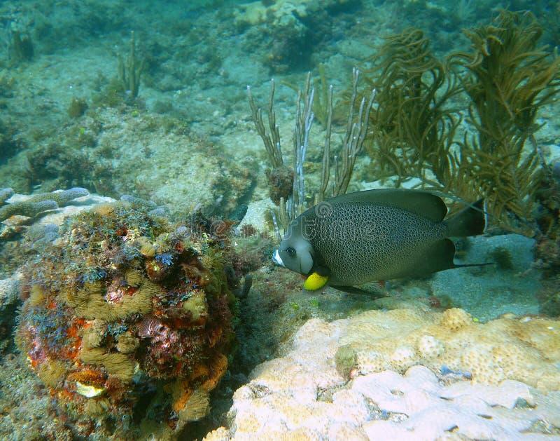 Gray Angel Fish fotos de archivo
