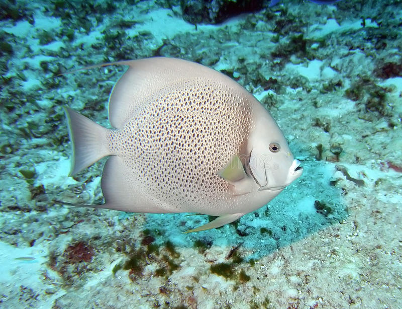 Gray angelfish. A gray angelfish swims the reef in the carribean sea stock photo