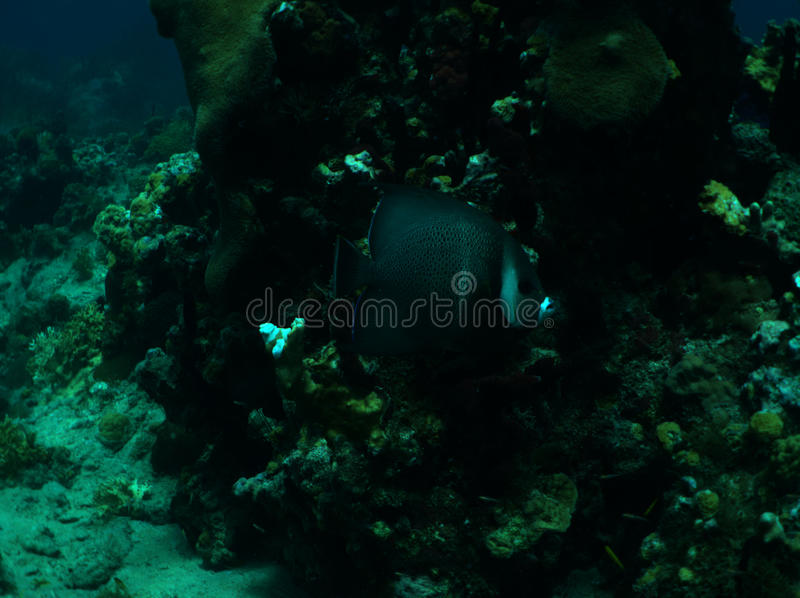 Gray Angelfish images stock