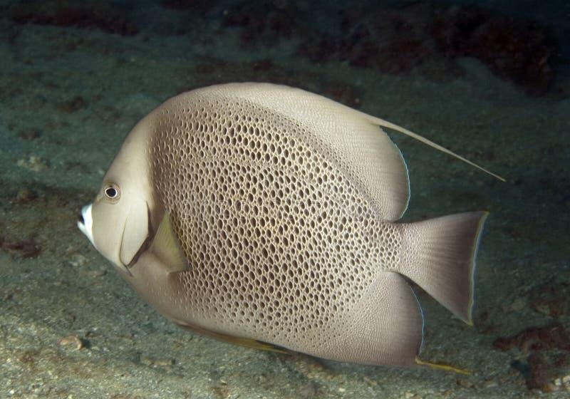 Gray Angelfish stock photography