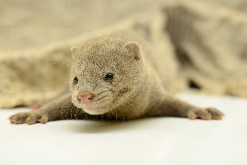 Download Gray animal mink stock image. Image of predator, fluffy - 32010125