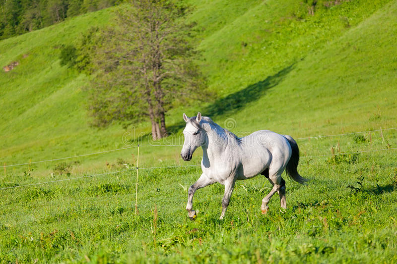 Gray Arab Horse Gallops Royalty Free Stock Photography