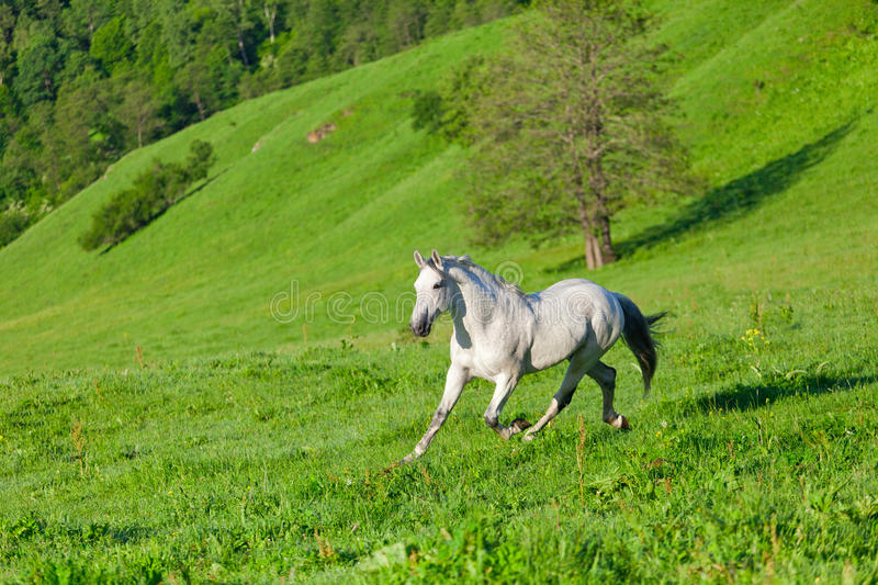 Download Gray Arab horse stock image. Image of grass, group, animals - 31600385