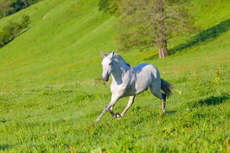 Gray Arab Horse Gallops Stock Images
