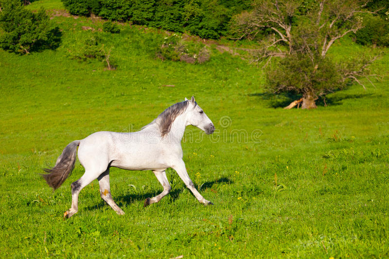Download Gray Arab horse stock image. Image of moving, field, grace - 31898405