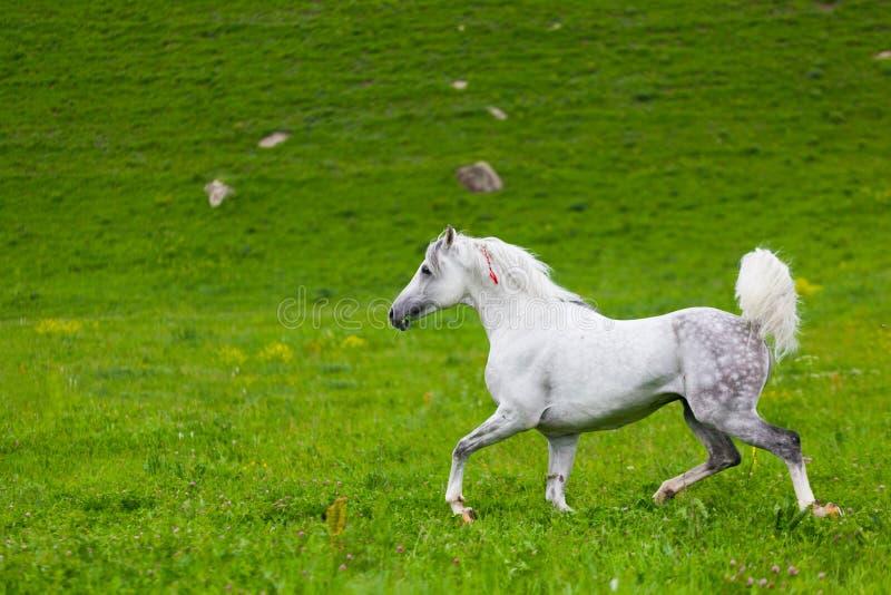 Gray Arab Horse Stock Photo