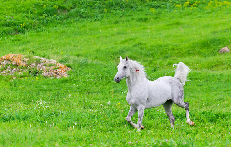 Download Gray Arab horse stock photo. Image of galloping, outside - 34318654
