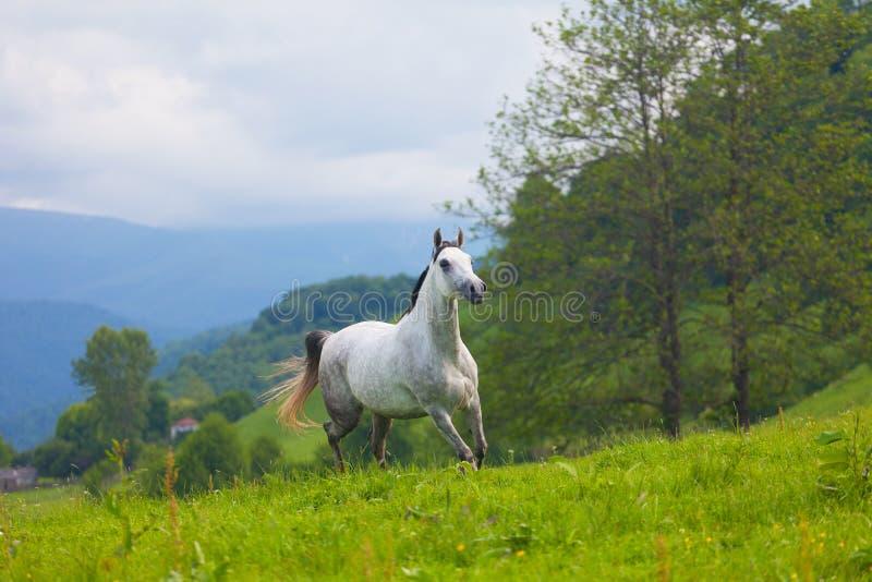Download Gray Arab horse stock photo. Image of mammal, pasture - 34953890