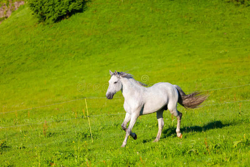 Download Gray Arab horse stock photo. Image of animals, farm, equestrian - 35006244
