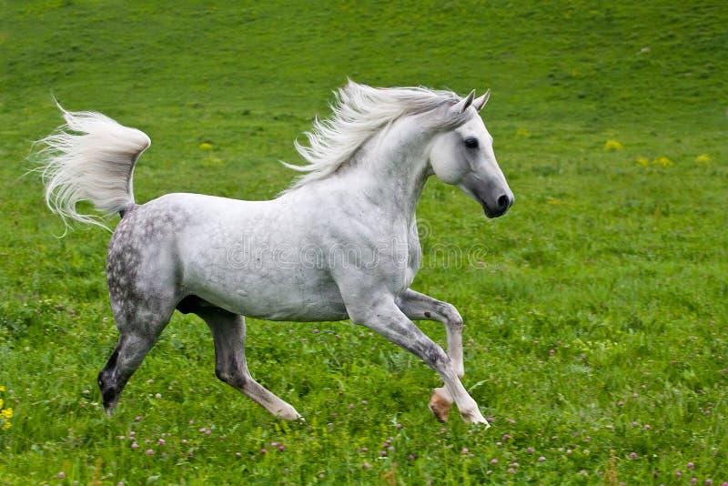 Gray Arab-paard stock afbeelding