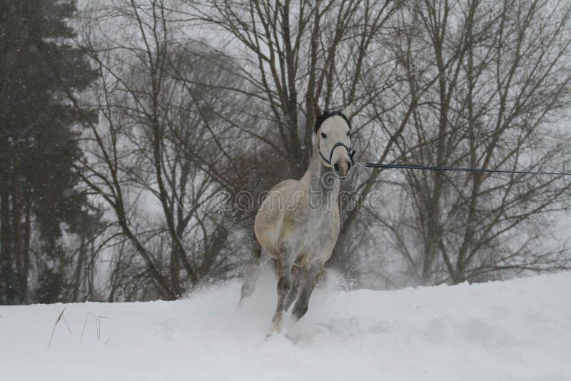 Gray Arabian-hengst die op een koord op een sneeuwhelling draven Op de achtergrond zijn de bovenkanten van de bomen royalty-vrije stock foto