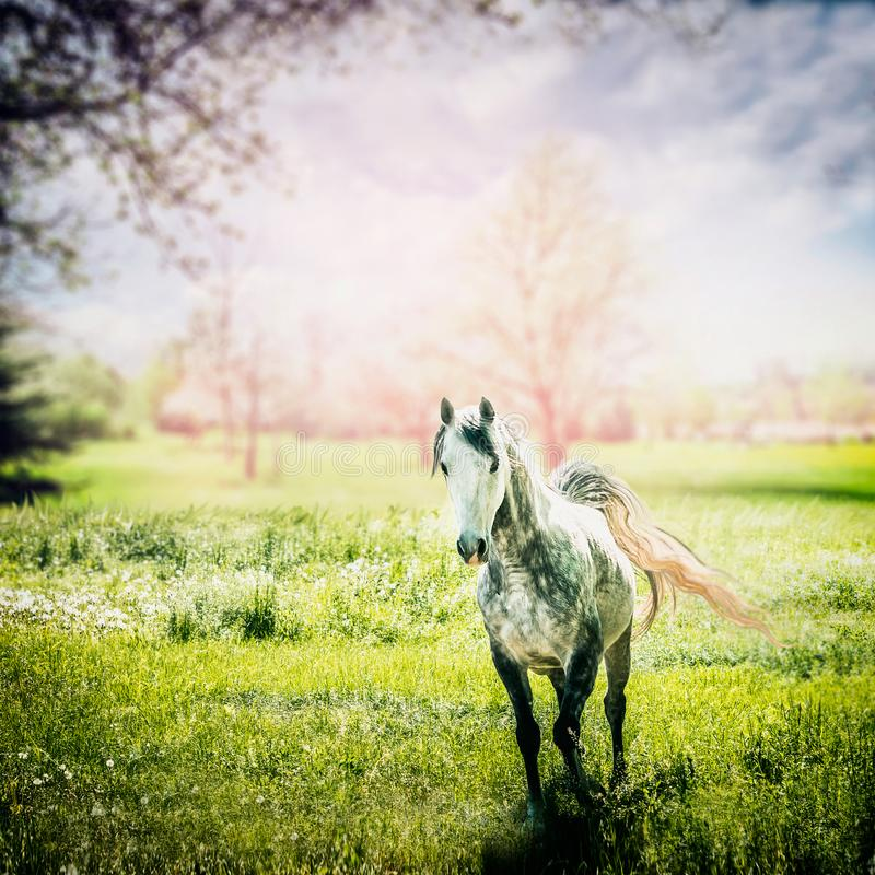 Gray arabian horse with a developing tail running at green spring nature royalty free stock photography