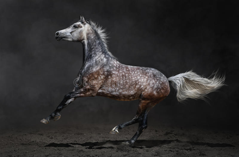 Gray arabian horse gallops on dark background royalty free stock image
