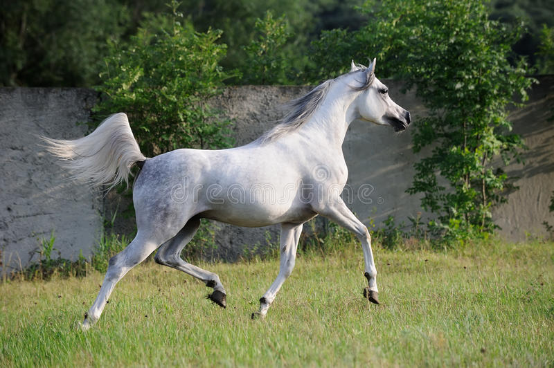 Gray Arabian Horse Running Trot On Pasture Royalty Free Stock Images