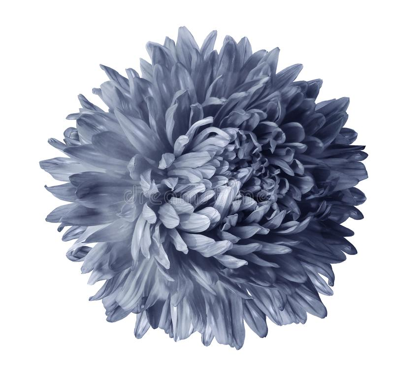 Gray aster flower isolated on white background with clipping path. Closeup no shadows. Nature stock image