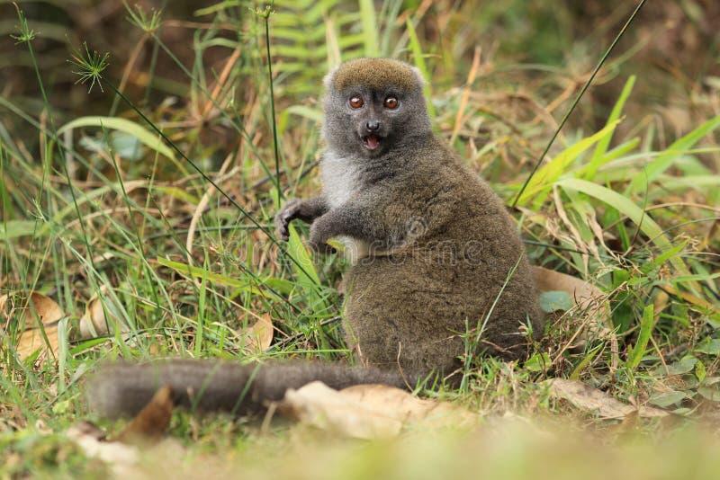 Gray bamboo lemur royalty free stock photos