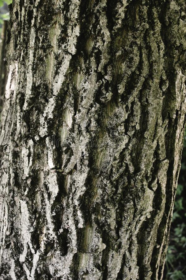 Gray bark of walnut tree, textured background or wallpaper royalty free stock photography