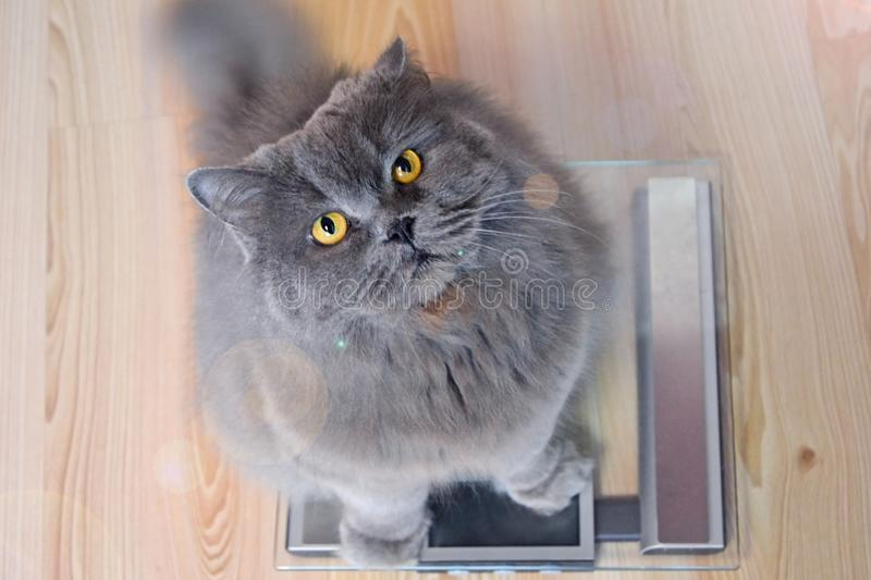 The gray big long-haired British cat sits on the scales and looks up. Concept weight gain during the New Year holidays, obesity, stock photo