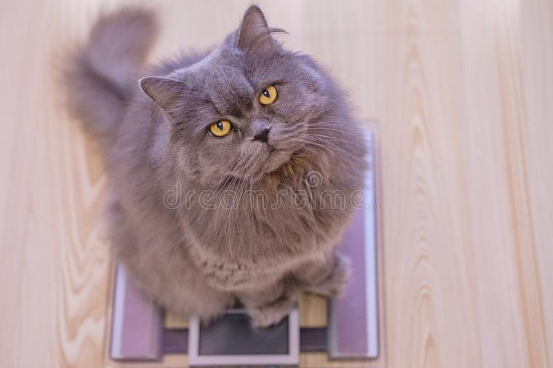 The gray big long-haired British cat sits on the scales and looks up. Concept weight gain during the New Year holidays, obesity stock images