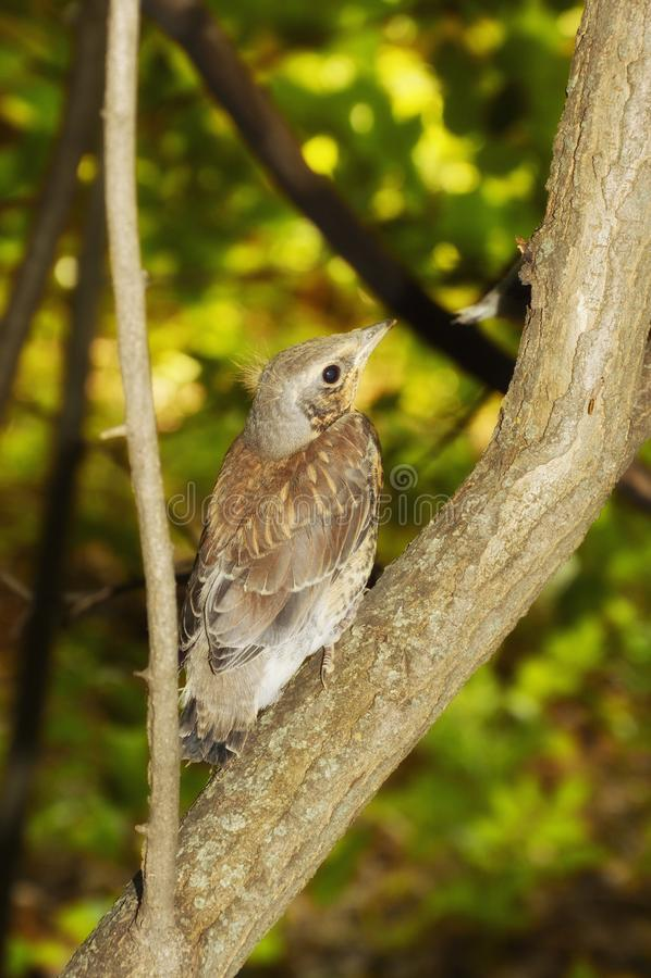 Gray bird on the tree. cuckoo in its natural habitat. stock image