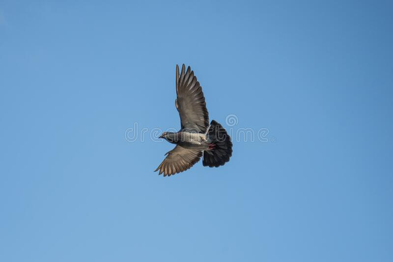 Gray And Black Bird Flying Free Public Domain Cc0 Image