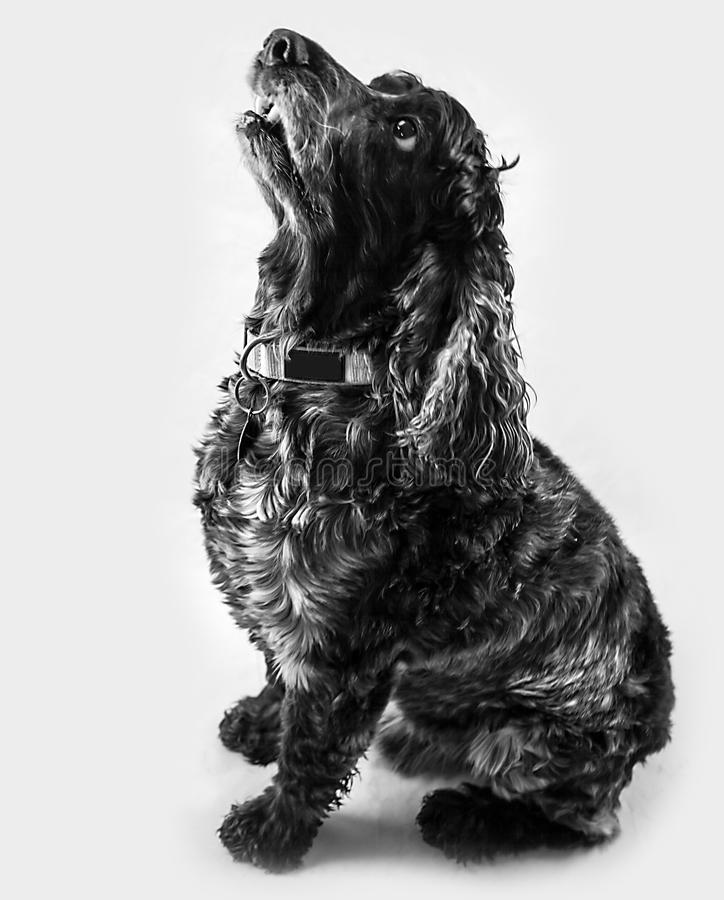 Cocker Spaniel sitting up stock images