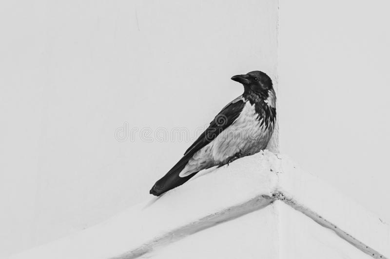 A gray and black crow with black shiny eyes sits on the corner of the white facade of the building. Black and white photo stock photos