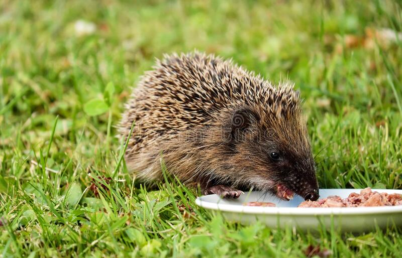 Gray and Black Hedgehog Eating on Plate stock photo