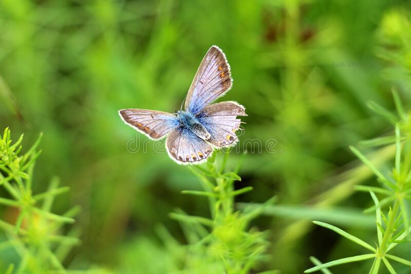 Gray and Blue Butterfly stock image