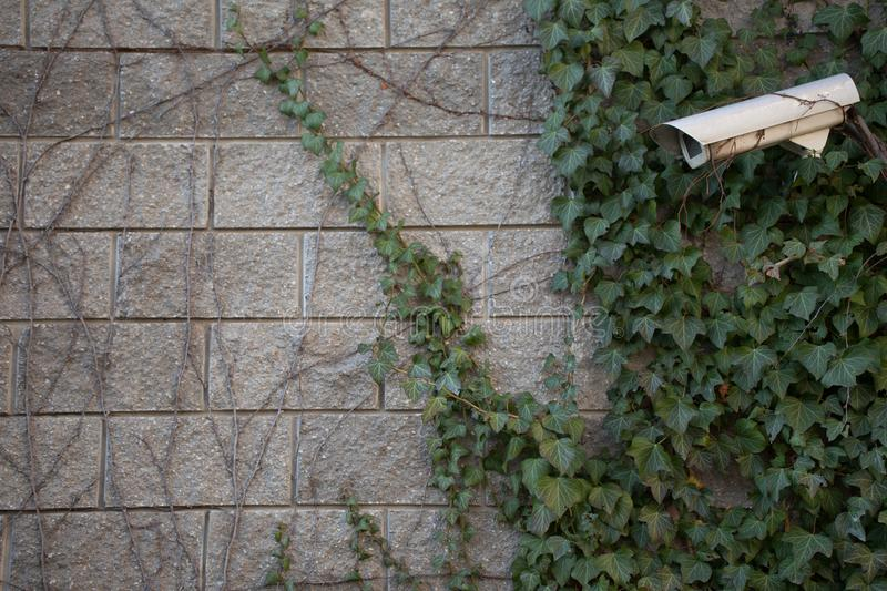 A gray brick wall with green ivy and wild grapes. Green leaves stock image