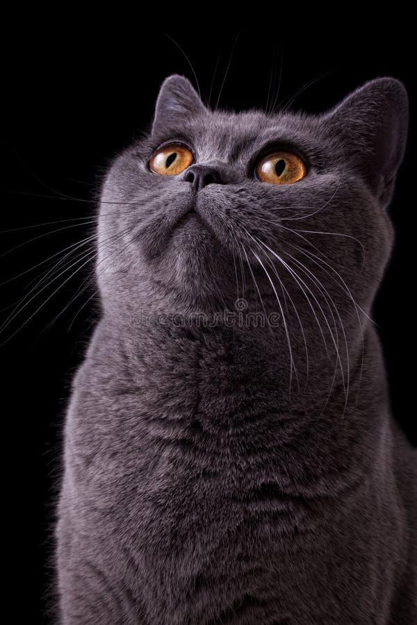 Download Gray British Cat With Dark Yellow Eyes Stock Image - Image: 18352573