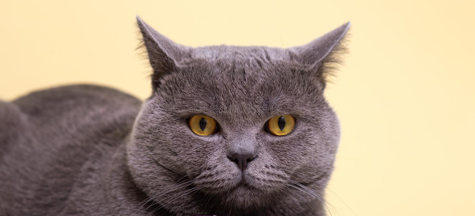 Gray british cat with yellow eyes scared on a light background. Close-up stock photography