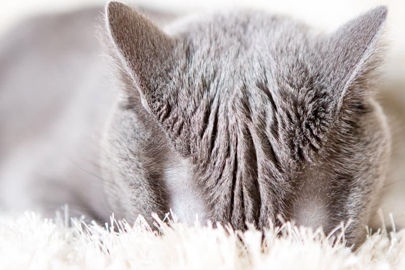 Gray British-kat verborg zijn gezicht in het tapijt, zichtbare Odie-oren royalty-vrije stock afbeelding