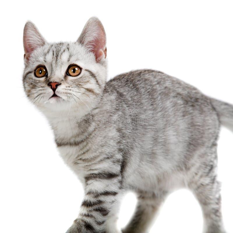 Gray british kitten. Isolated on white background royalty free stock photos