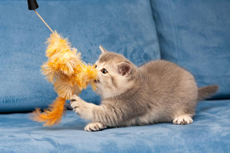 Gray British kitten plays with the furry orange toy royalty free stock photo